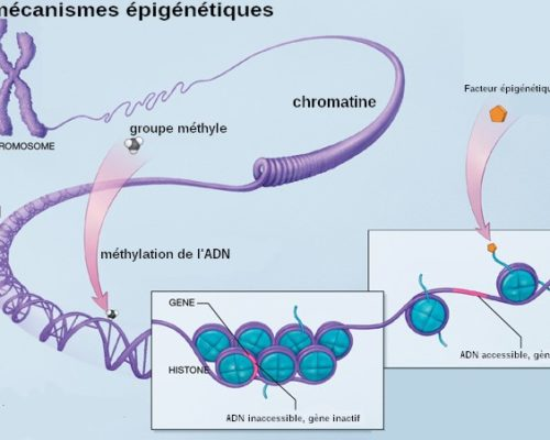 Mecanismes_epigenetiques-1